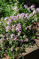Annie Hall Thyme (Thymus serpyllum 'Annie Hall') at The Growing Place