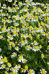 Chamomile (Matricaria recutita) at The Growing Place