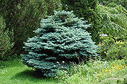 Globe Blue Spruce (Picea pungens 'Globosa') at The Growing Place