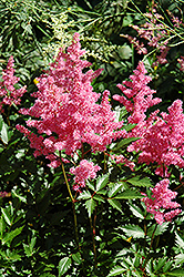 Bremen Astilbe (Astilbe japonica 'Bremen') at The Growing Place
