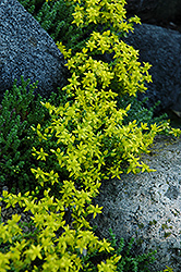 Six Row Stonecrop (Sedum sexangulare) at The Growing Place