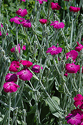 Rose Campion (Lychnis coronaria) at The Growing Place