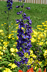 Black Knight Larkspur (Delphinium 'Black Knight') at The Growing Place
