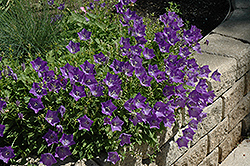 Blue Clips Bellflower (Campanula carpatica 'Blue Clips') at The Growing Place