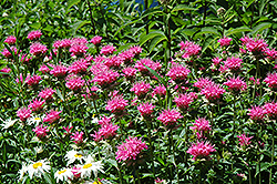 Marshall's Delight Beebalm (Monarda 'Marshall's Delight') at The Growing Place
