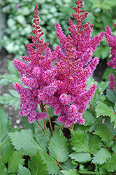 Visions Astilbe (Astilbe chinensis 'Visions') at The Growing Place