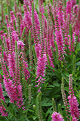 Red Fox Speedwell (Veronica spicata 'Red Fox') at The Growing Place