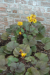 Britt Marie Crawford Rayflower (Ligularia dentata 'Britt Marie Crawford') at The Growing Place