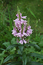 Obedient Plant (Physostegia virginiana) at The Growing Place