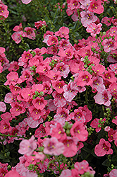 Darla Rose Twinspur (Diascia 'Darla Rose') at The Growing Place