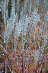 Flame Grass (Miscanthus sinensis 'Purpurascens') at The Growing Place