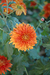 Autumn Fire Chrysanthemum (Chrysanthemum 'Autumn Fire') at The Growing Place