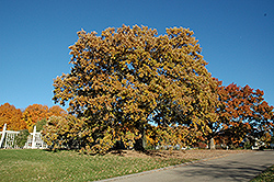 Bur Oak (Quercus macrocarpa) at The Growing Place