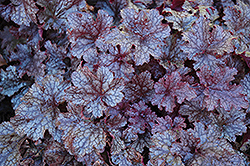 Plum Pudding Coral Bells (Heuchera 'Plum Pudding') at The Growing Place