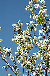 Allegheny Serviceberry (Amelanchier laevis) at The Growing Place