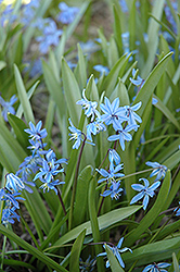 Spring Squills (Scilla sibirica) at The Growing Place