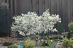 Autumn Brilliance Serviceberry (Amelanchier x grandiflora 'Autumn Brilliance') at The Growing Place