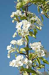Summercrisp Pear (Pyrus 'Summercrisp') at The Growing Place