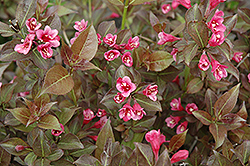 Tango Weigela (Weigela florida 'Tango') at The Growing Place