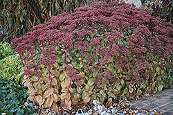 Matrona Stonecrop (Sedum 'Matrona') at The Growing Place