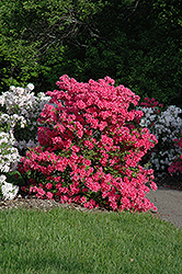 Rosy Lights Azalea (Rhododendron 'Rosy Lights') at The Growing Place