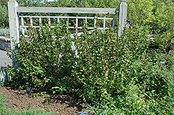 Common Sweetshrub (Calycanthus floridus) at The Growing Place