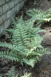 Ghost Fern (Athyrium 'Ghost') at The Growing Place
