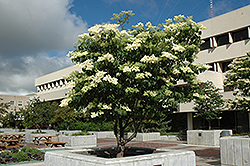 Ivory Silk Japanese Tree Lilac (Syringa reticulata 'Ivory Silk') at The Growing Place