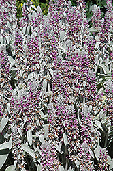 Lamb's Ears (Stachys byzantina) at The Growing Place