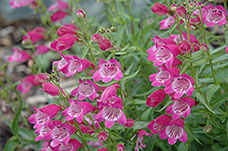 Red Rocks Beard Tongue (Penstemon x mexicali 'Red Rocks') at The Growing Place