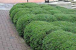 Chicagoland Green Boxwood (Buxus 'Glencoe') at The Growing Place