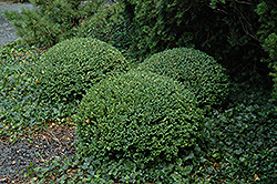 Northern Charm Boxwood (Buxus 'Wilson') at The Growing Place