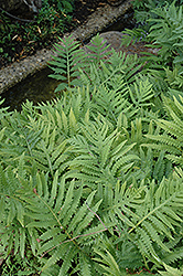 Sensitive Fern (Onoclea sensibilis) at The Growing Place
