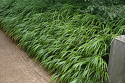 Japanese Woodland Grass (Hakonechloa macra) at The Growing Place
