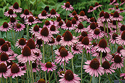 Pixie Meadowbrite Coneflower (Echinacea 'Pixie Meadowbrite') at The Growing Place