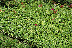 John Creech Stonecrop (Sedum spurium 'John Creech') at The Growing Place