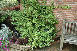 Sarcoxie Wintercreeper (Euonymus fortunei 'Sarcoxie') at The Growing Place