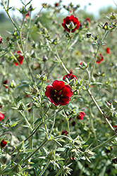 Monarch's Velvet Cinquefoil (Potentilla thurberi 'Monarch's Velvet') at The Growing Place