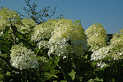 Phantom Hydrangea (Hydrangea paniculata 'Phantom') at The Growing Place