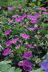 Max Frei Cranesbill (Geranium sanguineum 'Max Frei') at The Growing Place
