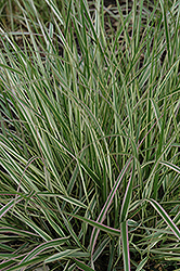 Variegated Reed Grass (Calamagrostis x acutiflora 'Overdam') at The Growing Place