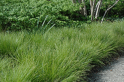Eastern Star Sedge (Carex radiata) at The Growing Place