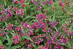 Raspberry Splash Lungwort (Pulmonaria 'Raspberry Splash') at The Growing Place
