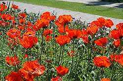 Brilliant Poppy (Papaver orientale 'Brilliant') at The Growing Place