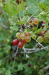 Pixwell Gooseberry (Ribes 'Pixwell') at The Growing Place