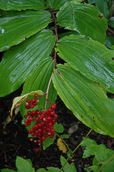 Starry False Solomon's Seal (Smilacina racemosa) at The Growing Place