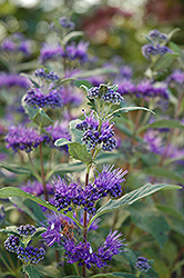 Dark Knight Caryopteris (Caryopteris x clandonensis 'Dark Knight') at The Growing Place