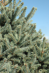 Yukon Blue Spruce (Picea glauca 'Yukon Blue') at The Growing Place