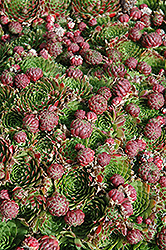 Red Hens And Chicks (Sempervivum 'Red') at The Growing Place
