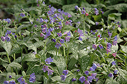 Majeste Lungwort (Pulmonaria 'Majeste') at The Growing Place